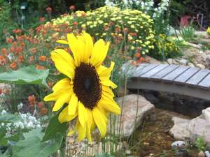 Sunflower in cottage style garden